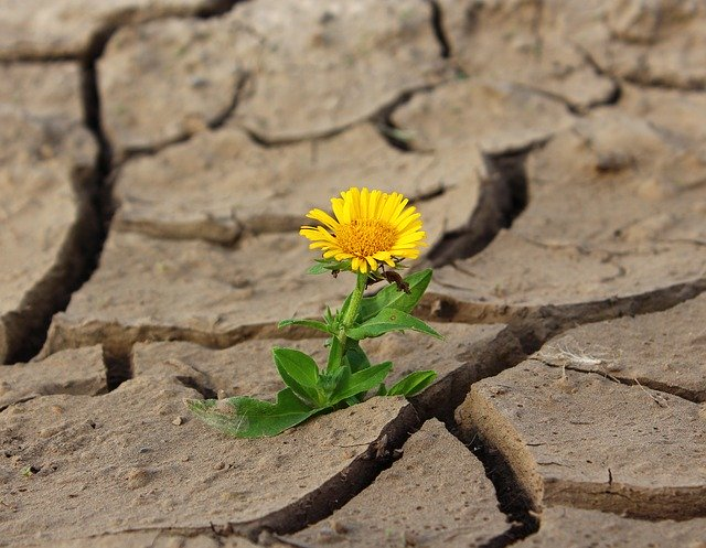 A blooming flower in drought